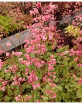 Heuchera 'Flower Power'