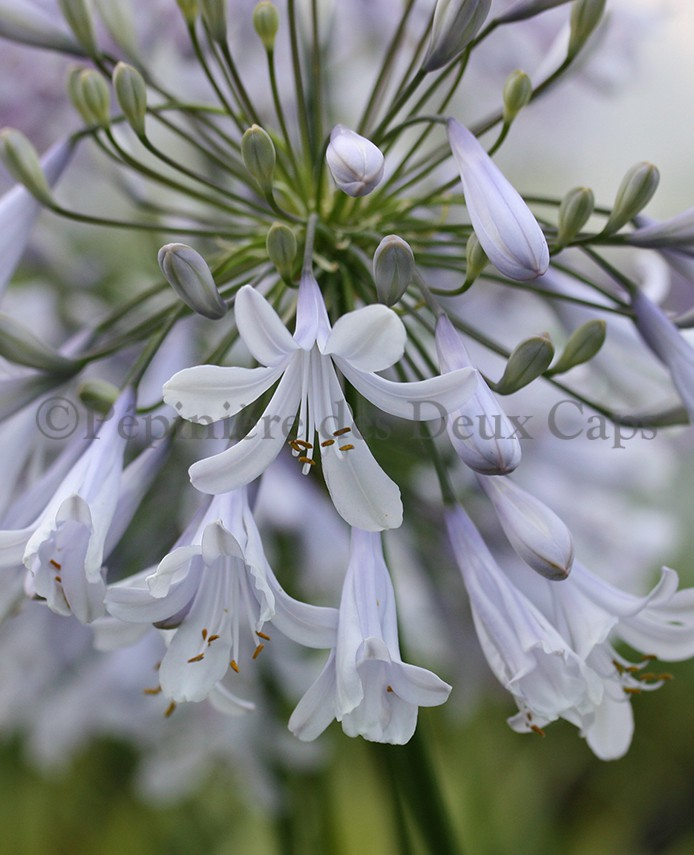 Agapanthus Blue Ice