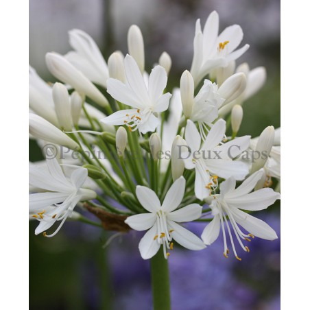 Agapanthus 'Snow Cloud'