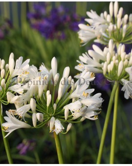 Agapanthus Snow Cloud