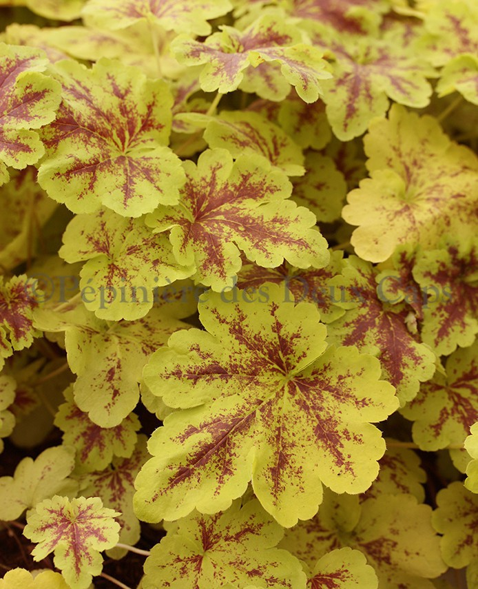 x Heucherella Solar Power