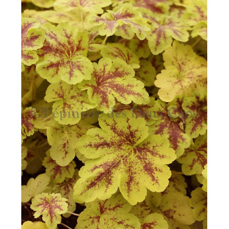 x Heucherella 'Solar Power'