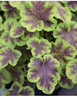 x Heucherella 'Solar Eclipse'