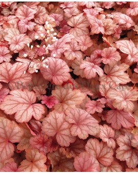 Heuchera 'Raspberry Sea'