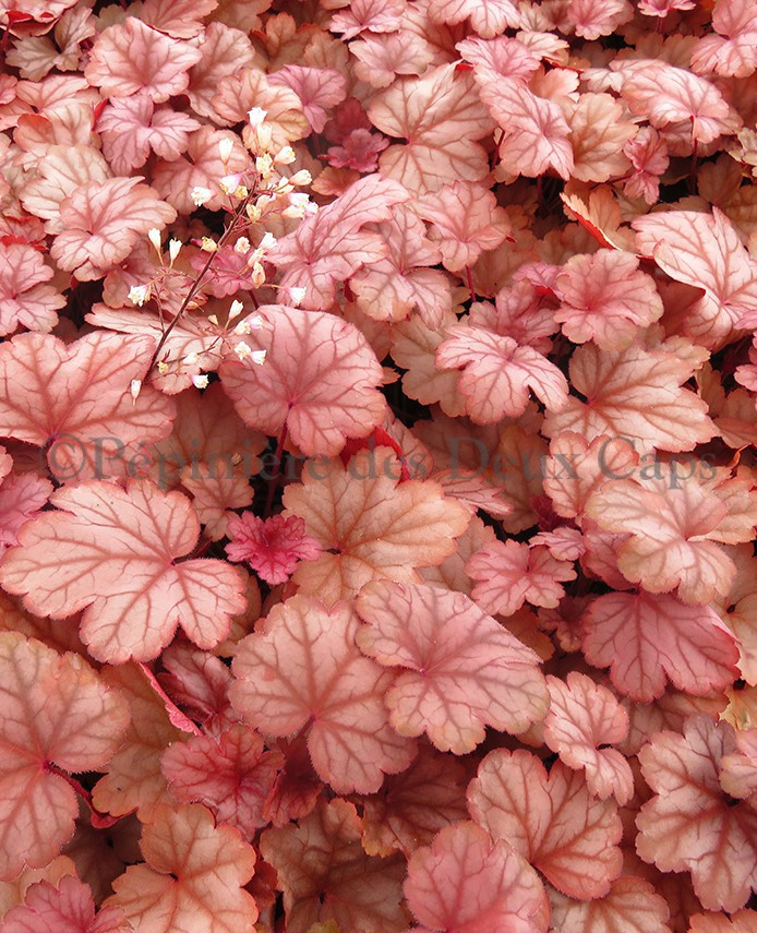 Heuchera Raspberry Sea
