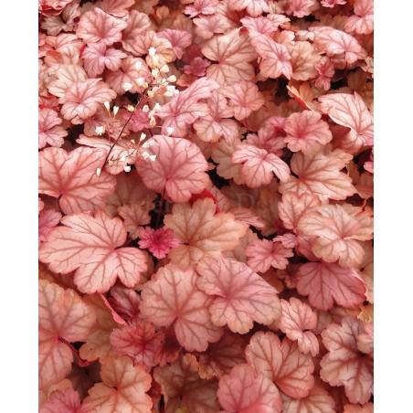 Heuchera Raspberry Sea