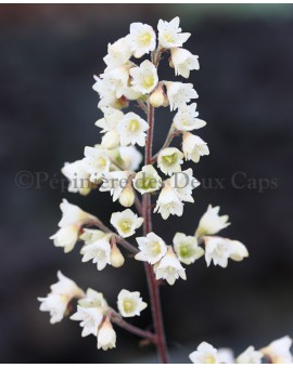 Heuchera 'Flores Snow'