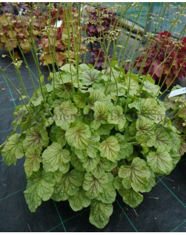 Heuchera 'Happy Moon'