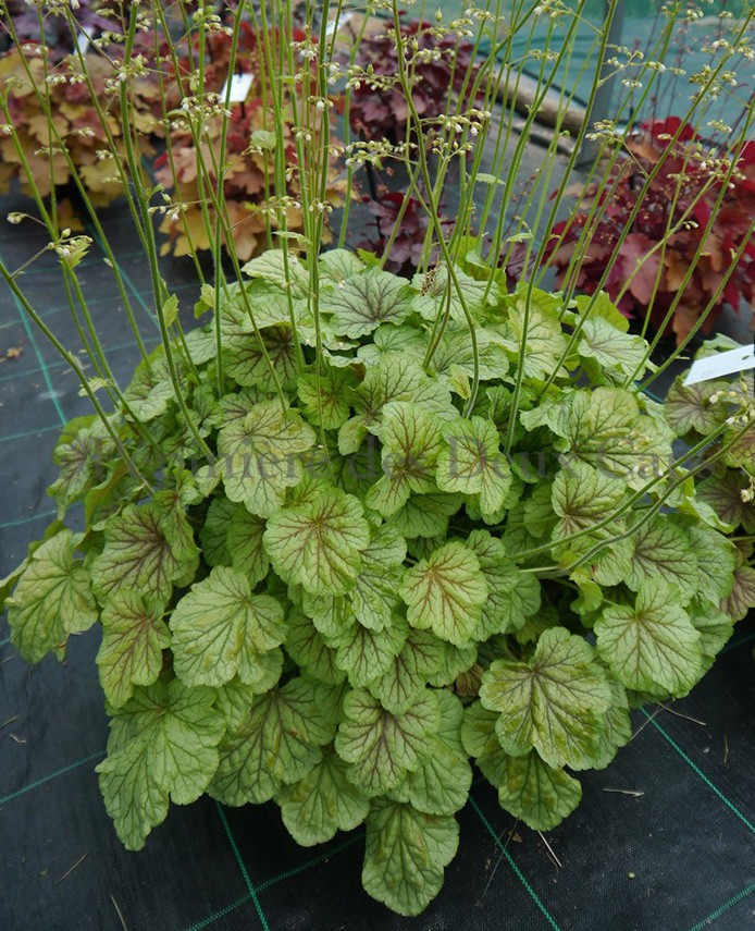 Heuchera Happy Moon