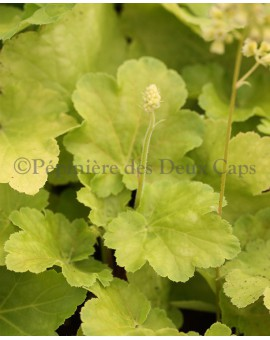 Heuchera Blondie in Lime