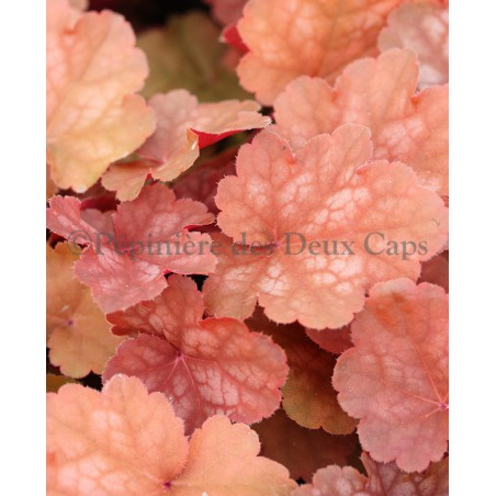 Heuchera 'Caribbean Sea'