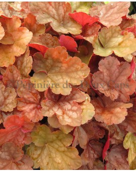 Heuchera Caribbean Sea