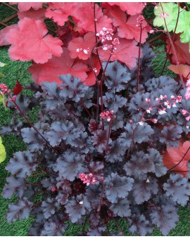 Heuchera Crazy Rasta