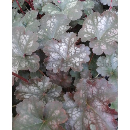 Heuchera Happy Devil