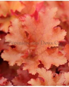 Heuchera Zipper