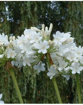Agapanthus Duivenbrugge White