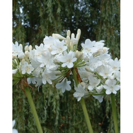 Agapanthus 'Duivenbrugge White'