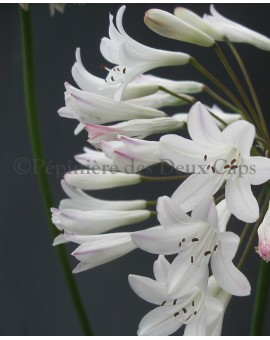 Agapanthus Ardernei