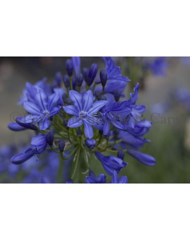 Agapanthus 'Inkspots'
