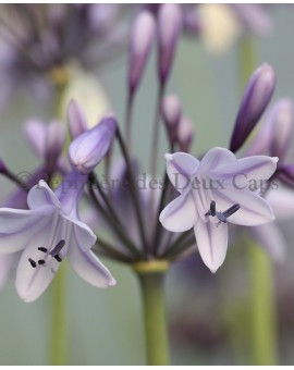 Agapanthus Liam's Lilac
