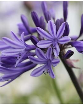 Agapanthus Navy Blue