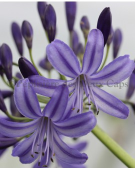 Agapanthus Northern Star