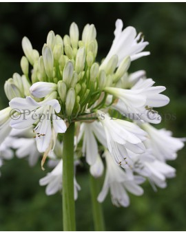 Agapanthus 'Silver Lining'