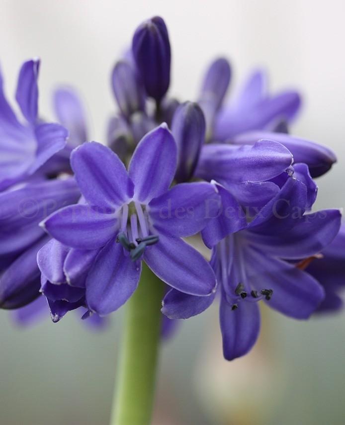 Agapanthus Sofie détail fleur