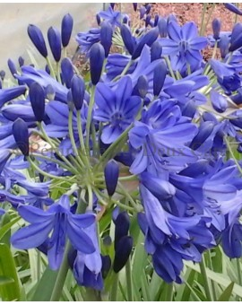 Agapanthus 'Flower of Love'