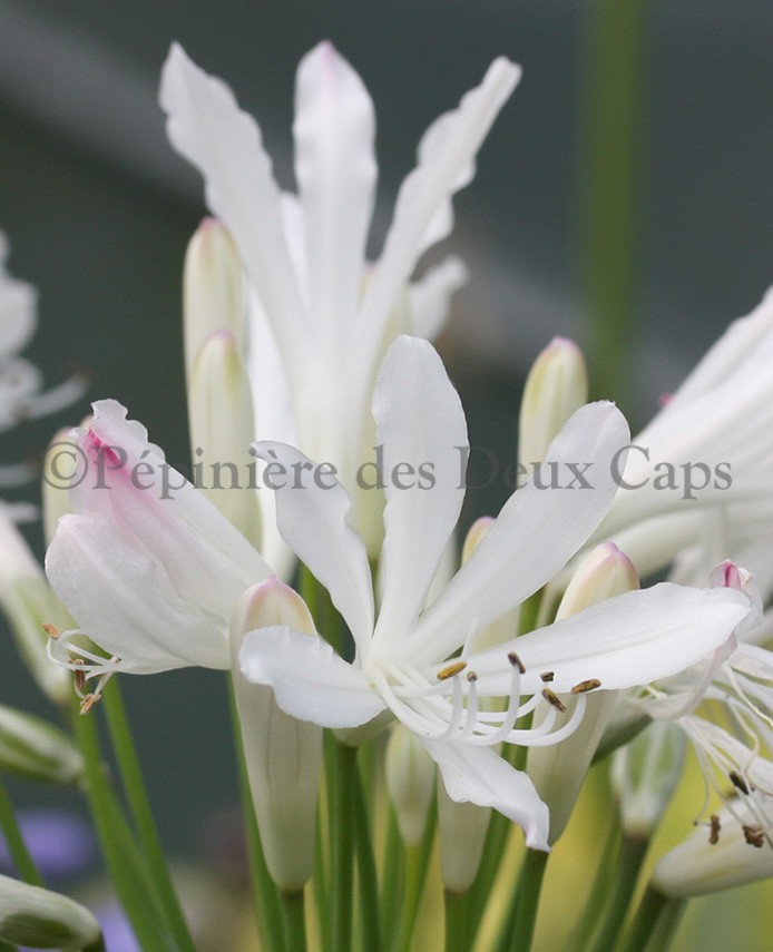 Agapanthus Strawberry Ice