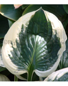 Hosta 'Patriot' feuille