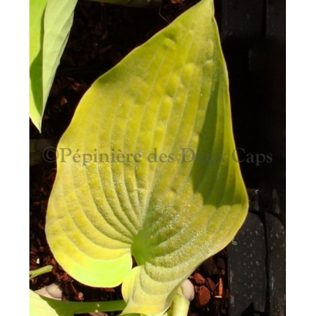 Hosta 'Early Times'