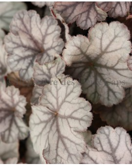 Heuchera 'Flores Sea' blad