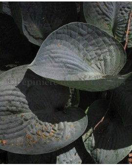 Hosta 'Love Pat'
