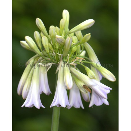 Agapanthus 'Crystal Drop'