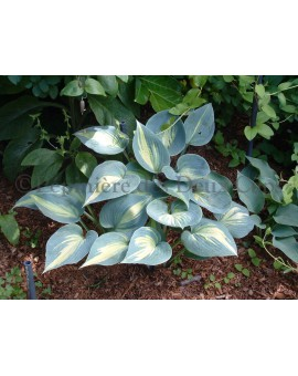 Hosta 'Touch of Class'