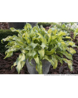 Hosta 'Ripple Effect'