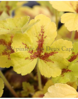 Heucherella 'Mojito' new leaf color