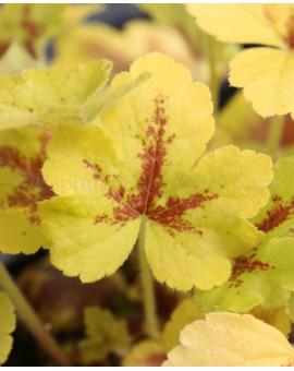 Heucherella 'Mojito' couleur nouvelles feuilles