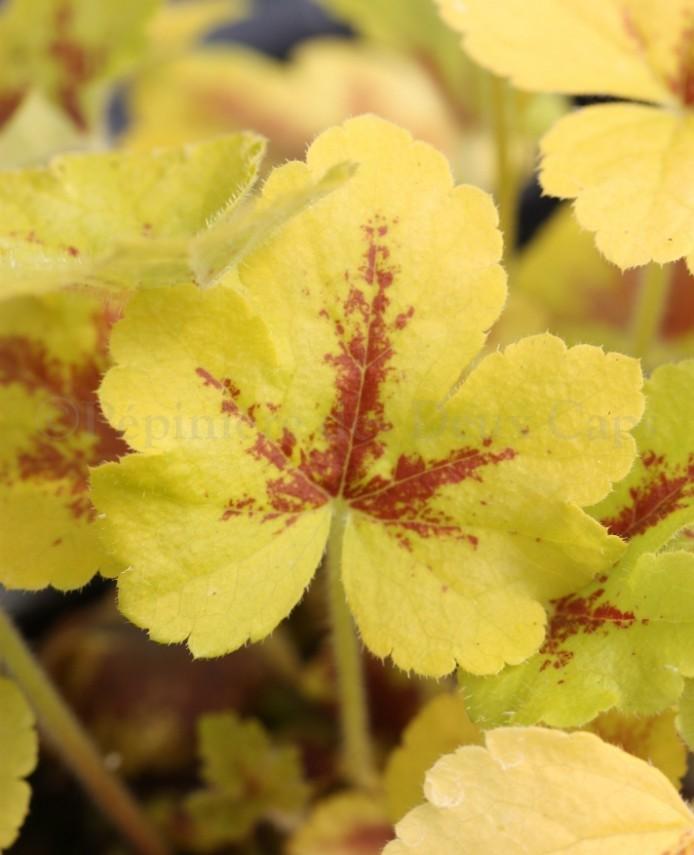 Heucherella 'Mojito' new leaf color