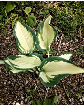Hosta 'Teacher's Pride'