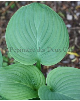 Hosta 'Fried Green Tomatoes'