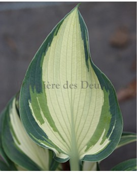 Hosta 'Teacher's Pride' leaf
