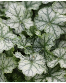 Heuchera 'Flower Carpet'