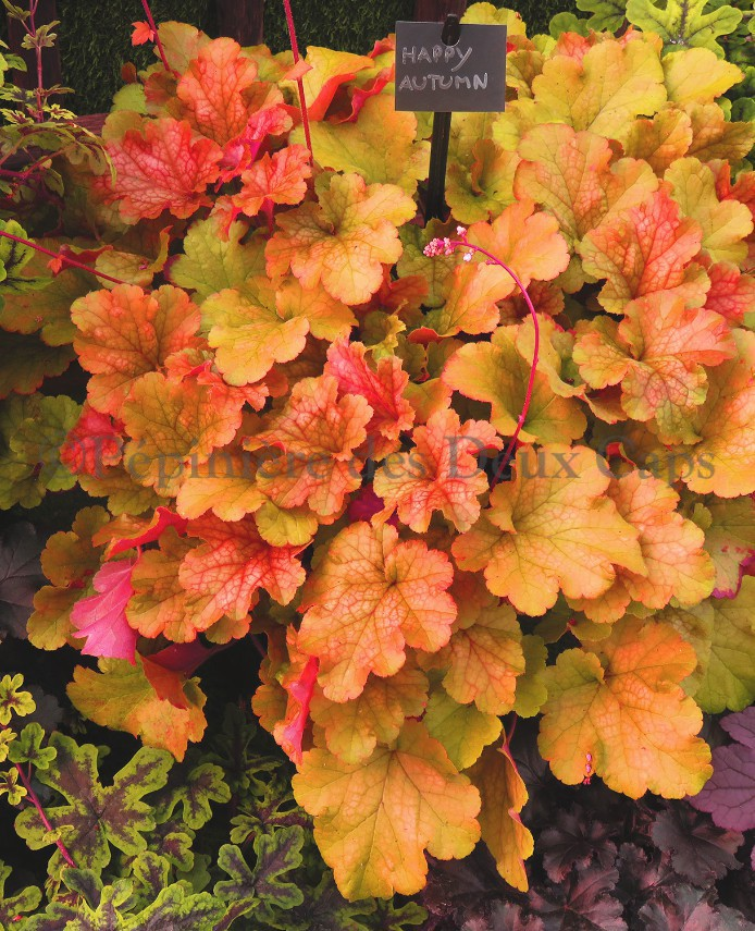 Heuchera 'Happy Autumn'