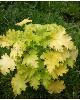 Heuchera Pear Crisp