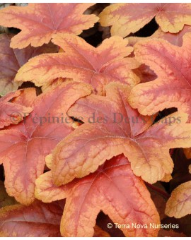 Heucherella Brass Lantern printemps