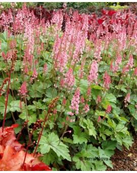 x Heucherella 'Dayglow Pink'