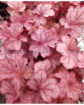 Heuchera Big Peach