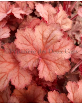 Heuchera 'Big Peach' Heuchera